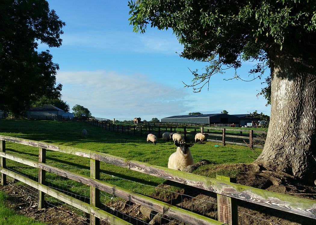 Boyne View curious sheep